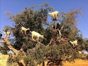 Goats eating argan oil nuts in trees